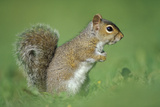 Close-Up of a Grey Squirrel (Sciurus Carolinensis) in Profile, the Species Was Introduced from Nort Photographic Print by Nature Picture Library