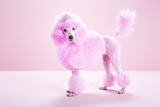 Miniature Pink Poodle, Pink Poodle,Studio Photographic Print by Jasper White