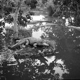 Crocodile Guard Impressão fotográfica por Three Lions