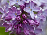 Closeup of Common Lilac (Syringa Vulgaris) Photographic Print by Ed Reschke