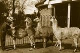 Brushing Llamas Photographic Print by Hulton Archive