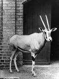 Beisa Antelope Photographic Print by Hulton Archive