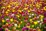 A Field of Colorful Tulips in Spring Photographic Print by Steve Bly