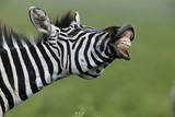 Zebra (Equus Quagga) Calling, Ngorongoro Crater, Tanzania, Africa Photographic Print by Paul & Paveena McKenzie