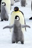 Dancing Penguin Fotografisk tryk af  TCYuen