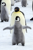 Dancing Penguin Photographic Print by  TCYuen