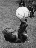 Chimps' Football Photographic Print by William Vanderson