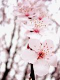 Sakura Fotografie-Druck von  jdphotography