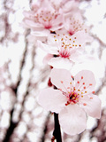 Sakura Photographic Print by  jdphotography