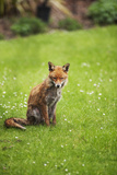 Young Red Fox in a London Garden Photographic Print by malcolm park