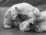 Cuddly Bears Photographic Print by William Vanderson