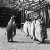 Penguins on Parade Photographic Print by Dennis Rowe