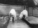 Polar Bears Photographic Print by Topical Press Agency
