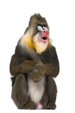 Mandrill Sitting and Smiling Photographic Print by Life on White