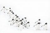Gentoo Penguin Walking on Snow Photographic Print by Daisy Gilardini