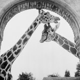 Giraffes Photographic Print by Howell Evans