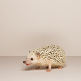Hedgehog Portrait Photographic Print by Karen Moskowitz