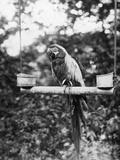 Zoo Parrot Stampa fotografica di Hulton Archive