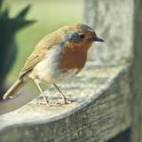 Robin Reproduction photographique par  BlackCatPhotos