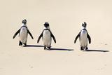 Jackass Penguin Photographic Print by Tier Und Naturfotografie J und C Sohns