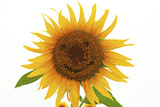 Japan, Miyagi Prefecture, Sanbongi-Cho, Sunflower with Smiley Face Photographic Print by  imagewerks