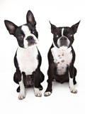 Two Boston Terrier Dogs Sitting next to Each Othe Photographic Print by Evan Kafka