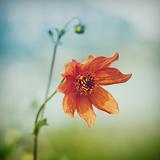 Orange Flower Photographic Print by Julia Davila-Lampe
