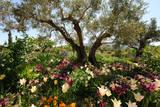 Beneath the Olive Tree, Marnes, Spain Photographic Print by Josie Elias