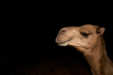 Camel Photographic Print by David Cayless