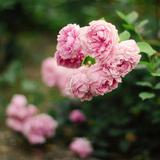 Roses at Dawn Photographic Print by Pamela N. Martin