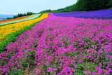 Furano Lavender Season Photographic Print by Frank Chen