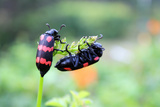 Spotted Beetle Couple Photographic Print by Sudarshan v