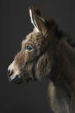Stanley the Donkey Fotografisk tryk af Peter Samuels