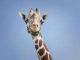 Giraffe Photographic Print by DC Photo