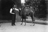 A Young Camel Photographic Print by Topical Press Agency