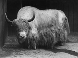Captive Yak Photographic Print