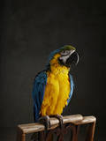 Parrot Perched on Chair Stampa fotografica di Zena Holloway