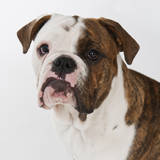 Portrait of Cute Bulldog Pup Photographic Print by Daniel Grill