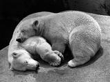 Russian Polar Bears Photographic Print by  Keystone
