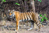 Female Tiger Cub Photographic Print by  Copyright@JGovindaraj