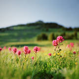 Paintbrush Wildflowers at Mt. Rainier Photographic Print by Danielle D. Hughson