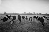 Friesian Cows Photographic Print by Graham Wood