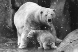 Polar Bear Family Photographic Print by Evening Standard
