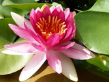 Pink Water Lily in Closeup Photographic Print by Corinne Vella