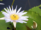 Tropical Water Lily Photographic Print by  bimka1