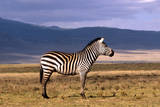 Burchell's Zebra Photographic Print by David Cayless