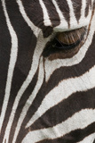 Side View of a Plains Zebra Head, with the Eye Open. Ngorongoro Conservation Area, Tanzania Photographic Print by Mint Images - Art Wolfe