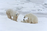 Polar Bears in the Wild. A Powerful Predator and a Vulnerable or Potentially Endangered Species. Photographic Print by Mint Images - David Schultz