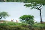 Male Springboks at Pond in Serengeti, Tanzania Photographic Print by  JoSon