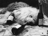 Dulux Dog Drunk Photographic Print by Michael Webb